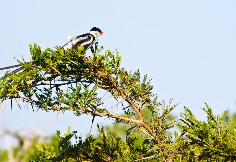 This bird was busy yakking.  Hluhluwe Reserve