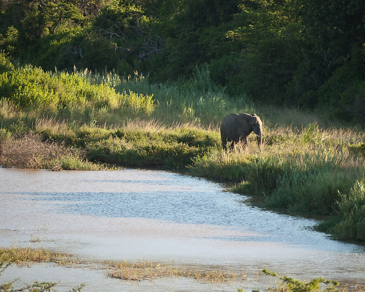 A young bull elephant approaches a watering hole at Hluhluwe.