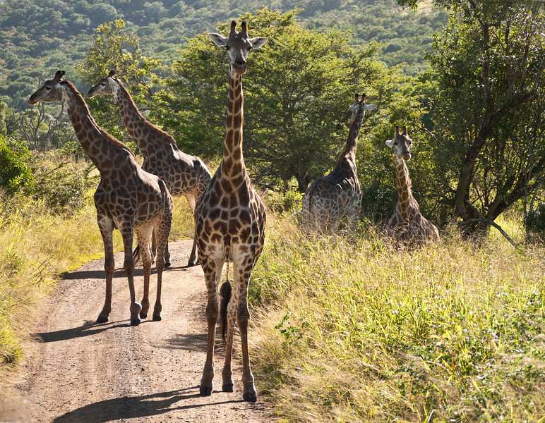 My favorite kind of traffic jam.  The second giraffe has a sore ankle.  I ache for him/her.<br /> <br /> Giraffe at Hluhluwe Game Reserve