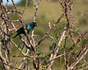 Yet another bird I have no name for.  In Hluhluwe Reserve