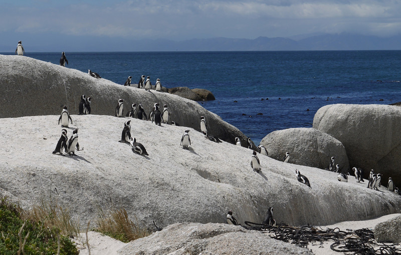 African penguins.  These are mostly stationary, beaks open to cool off.  Some sit on eggs in the sand, keeping the eggs cool.  Boulders Beach: Table Mountain National Park, Cape Town, South Africa.