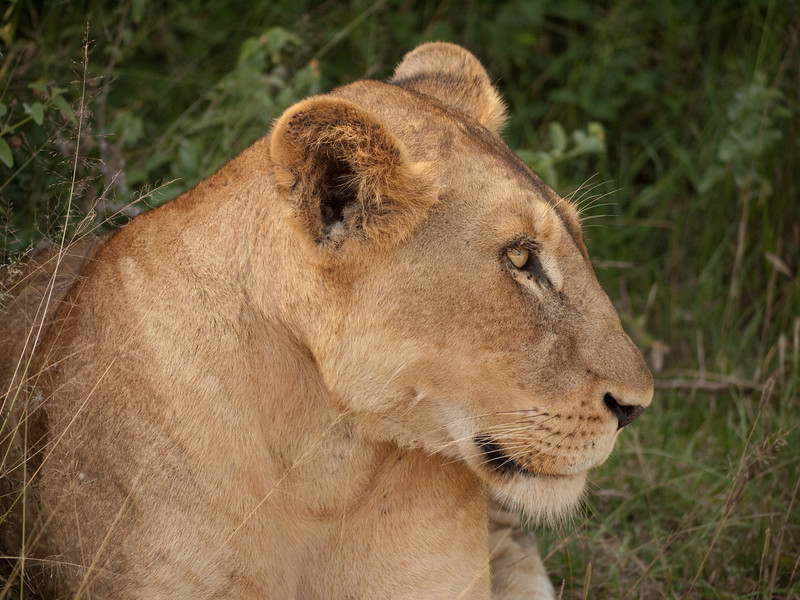 Lioness, all worn out.<br /> <br /> Kruger National Park