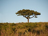 Tree in Hluhluwe Reserve.  The flat-topped trees look  like I imagined Africa to be.  I'm not sure this is acacia, though.
