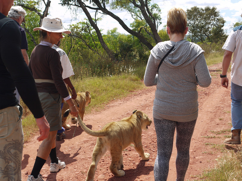 How to walk a lion ...<br /> These six-month old cubs will be the mothers of disease-free lions destined to be released into the wild.<br /> <br /> at MacRae's: Colin's Horseback Africa, Cullinan, Gauteng, South Africa