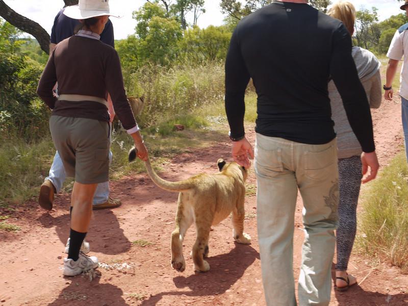 Alicia walks a six-month-old lion cub.