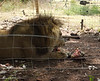 Adult male North African lion eats noisily.  I'm glad he's behind wire.