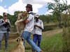 Lion handler brings back cub to be admired.