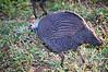 Helmeted guineafowl (Numida meleagris)