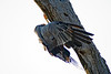 African harrier-hawk or Gymnogene (Polyboroides typus)