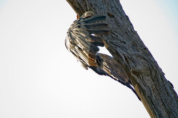 African harrier-hawk or Gymnogene (Polyboroides typus)
