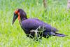 Southern ground-Hornbill (Bucorvus leadbeateri)