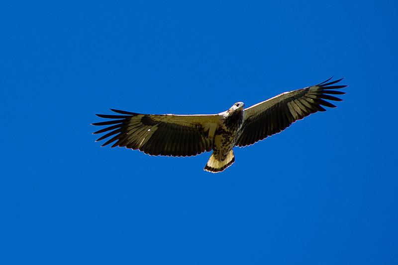 African fish-eagle (Haliaeetus vocifer) - Juvenile in flight