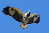 African fish-eagle (Haliaeetus vocifer) - Juvenile in flight