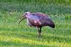 Hadeda ibis (Bostrychia hagedash)