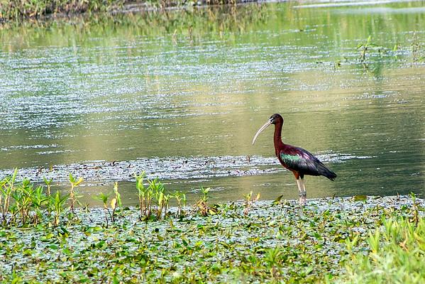 Family: Threskiornithidae (ibises and spoonbills)