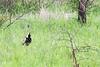 Black-bellied bustard or Black-bellied korhaan (Lissotis melanogaster)