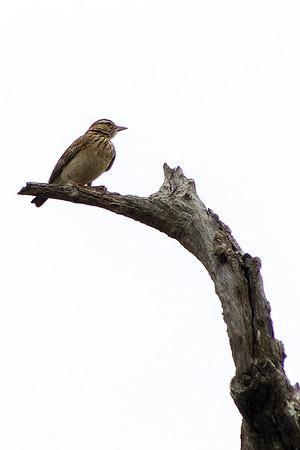 Family: Alaudidae (larks, sparrowlarks)