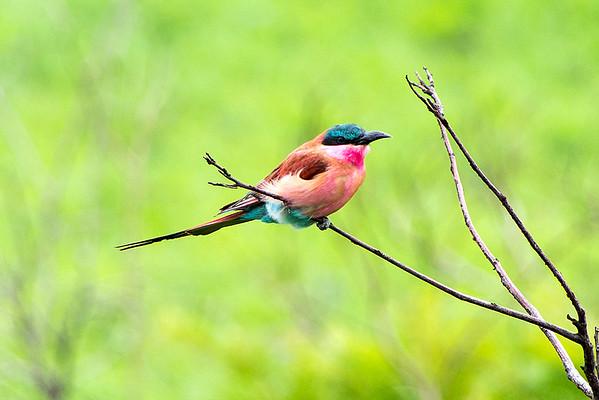 Southern carmine bee-eater or Carmine bee-eater (Merops nubicoides)