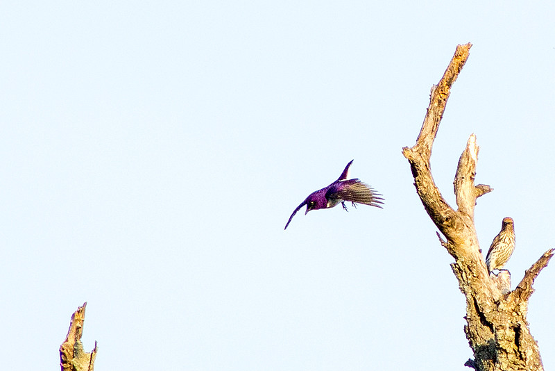Violet-backed starling or Plum-coloured starling (Cinnyricinclus leucogaster) - Male, in flight
