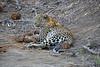 Adult_Leopard_MalaMala_2016_0022