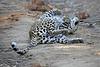 Adult_Leopard_MalaMala_2016_0031