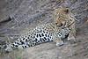 Adult_Leopard_MalaMala_2016_0033