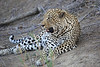Adult_Leopard_MalaMala_2016_0021
