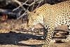 Adult_Leopard_MalaMala_2016_0045