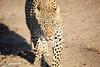 Adult_Leopard_MalaMala_2016_0047