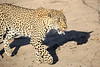 Adult_Leopard_MalaMala_2016_0039