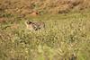Cheetah_Adventure_Phinda_2016_0004