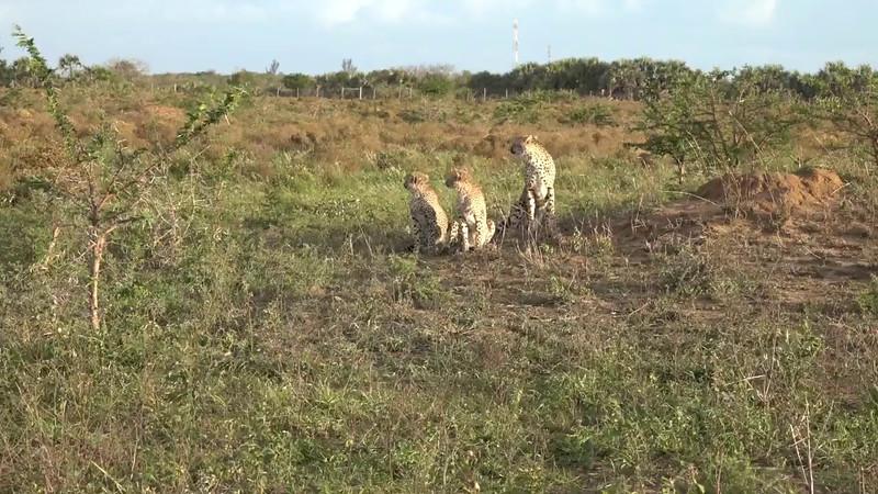 Phinda's Cheetah Encounter