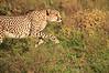 Cheetah_Adventure_Phinda_2016_0013