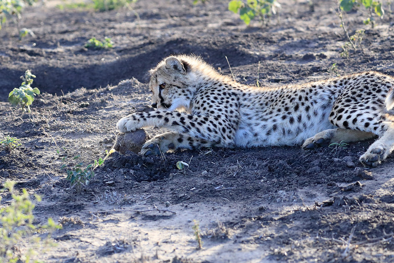 Young_Cheetah_Playing_With_Ball_Phinda_2016_0001