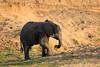 Elephant_MalaMala_2016_0005