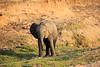 Elephant_MalaMala_2016_0003