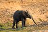 Elephant_MalaMala_2016_0004