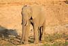 Elephant_MalaMala_2016_0018