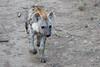 Hyena_Phinda_2016_0005