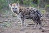 Hyena_Phinda_2016_0001