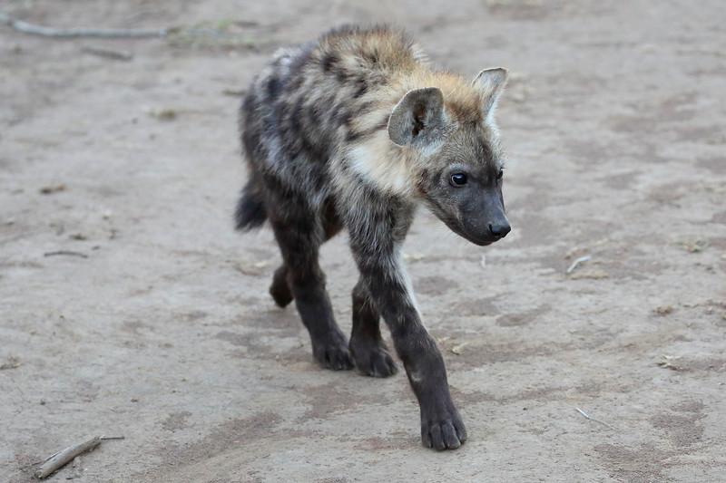 Hyena_Phinda_2016_0011