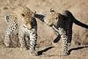 Leopard_Cubs_MalaMala_2016_0386