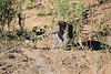 Leopard_Cubs_MalaMala_2016_0383