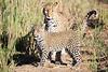 Leopard_Cubs_MalaMala_2016_0390