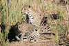 Leopard_Cubs_MalaMala_2016_0391
