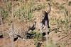Leopard_Cubs_MalaMala_2016_0374