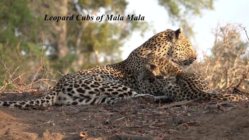 Leopard cubs of MalaMala