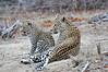 Leopard_Cubs_MalaMala_2016_0001