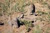Leopard_Cubs_MalaMala_2016_0373