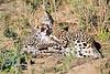 Leopard_Cubs_MalaMala_2016_0376